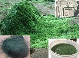 """Alga spirulina, scopriamo tutti i benefici di questa """"miracolosa"""" alga"""